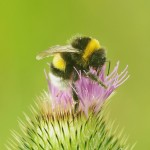 Bumblebee-on-thistle